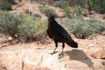 Demanding Raven