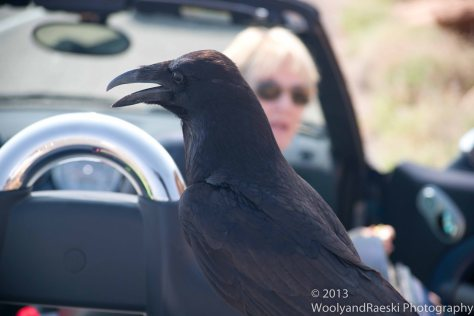 A Bold Raven