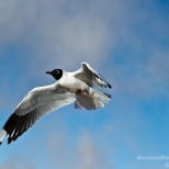 Andean Gull in flight over Tatio Geysers in Chile.