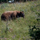 Is this a Brown or Grizzly bear in Canada's Glacier Watertown Park?