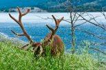 Caribou, bigger than deer and elk.