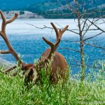 Caribou, bigger than deer and elk.