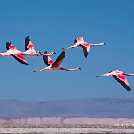 Flamingos in flight over Salar de Atacama in Chile.