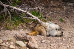 What's that furry little guy? It's a Marmot in Glacier National Park.