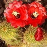 Cactus Blossom 2