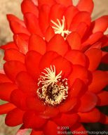 Cactus Flower 4