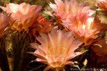 Cactus Flower 5