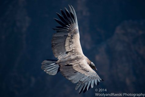 The Andean Condor has one of the largest wingspans of all birds.