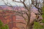 Canyonlands Pinon