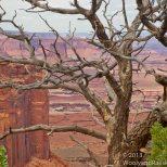 Canyonlands Pinon