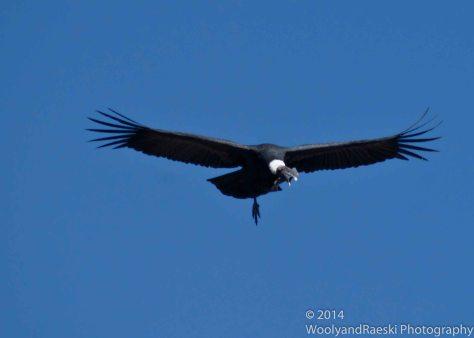Condor_03