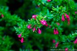 Zapallar Flowers 06