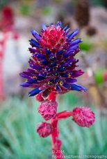 Zapallar Flowers 08