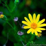Zapallar Flowers 10