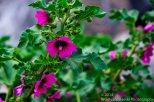 Zapallar Flowers 13