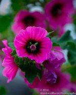 Zapallar Flowers 14