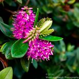 Zapallar Flowers 17