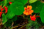 Zapallar Flowers 18