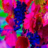 Grape Acid