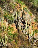 Not a saguaro.