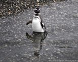 Sometimes penguins like to wade in the water too.