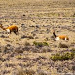 Vicuñas are not domesticated.